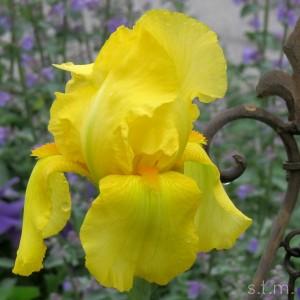 yellowiris