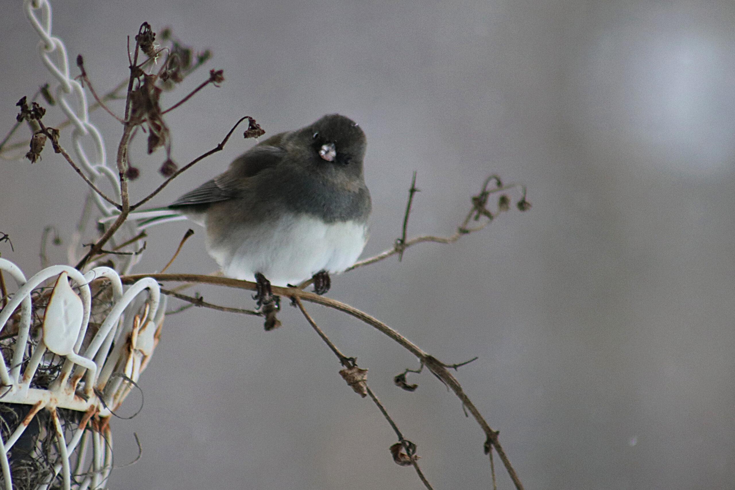 SnowBirdonTwig
